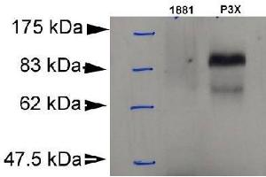 Western Blotting (WB) image for anti-PR Domain Containing 1, with ZNF Domain (PRDM1) (AA 199-409) antibody (ABIN153174)