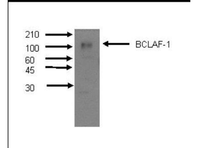 Western Blotting (WB) image for anti-BCL2-Associated Transcription Factor 1 (BCLAF1) antibody (ABIN4285516)