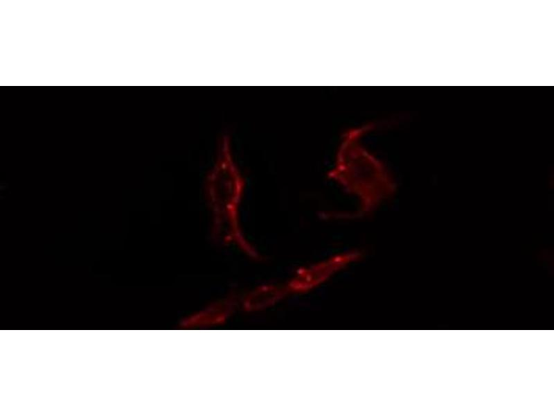 Immunofluorescence (fixed cells) (IF/ICC) image for anti-Par-3 Partitioning Defective 3 Homolog (C. Elegans) (PARD3) antibody (ABIN6259144)