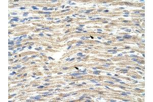 Image no. 1 for anti-CDKN2A Interacting Protein (CDKN2AIP) (C-Term) antibody (ABIN629922)