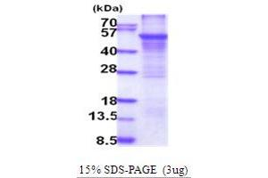 Image no. 1 for Cytochrome P450, Family 2, Subfamily E, Polypeptide 1 (CYP2E1) (AA 29-493) protein (His tag) (ABIN5854112)