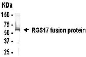 Image no. 1 for anti-Regulator of G-Protein Signaling 17 (RGS17) (AA 41-100) antibody (ABIN2467881)