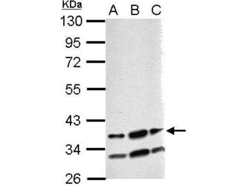 Western Blotting (WB) image for anti-RNA Binding Motif Protein 4 (RBM4) (Center) antibody (ABIN4349618)