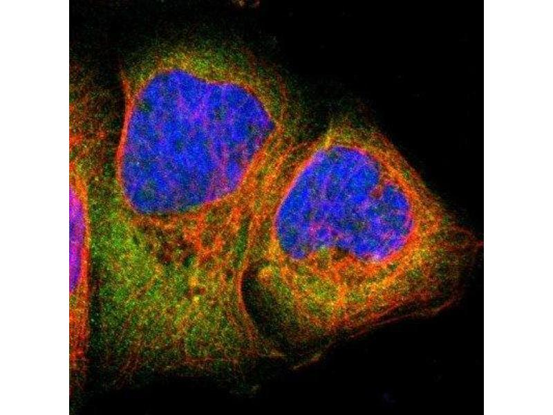 Immunofluorescence (IF) image for anti-Ribosomal Protein S6 Kinase, 90kDa, Polypeptide 1 (RPS6KA1) antibody (ABIN4351278)