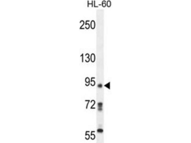 Image no. 1 for anti-KRI1 Homolog (S. Cerevisiae) (KRI1) antibody (ABIN2995581)