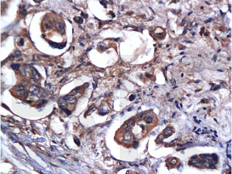 Immunohistochemistry (IHC) image for anti-Caspase 9 antibody (Caspase 9, Apoptosis-Related Cysteine Peptidase) (AA 20-69) (ABIN724160)