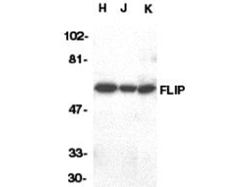 Western Blotting (WB) image for anti-CFLAR antibody (CASP8 and FADD-Like Apoptosis Regulator) (C-Term) (ABIN1030398)