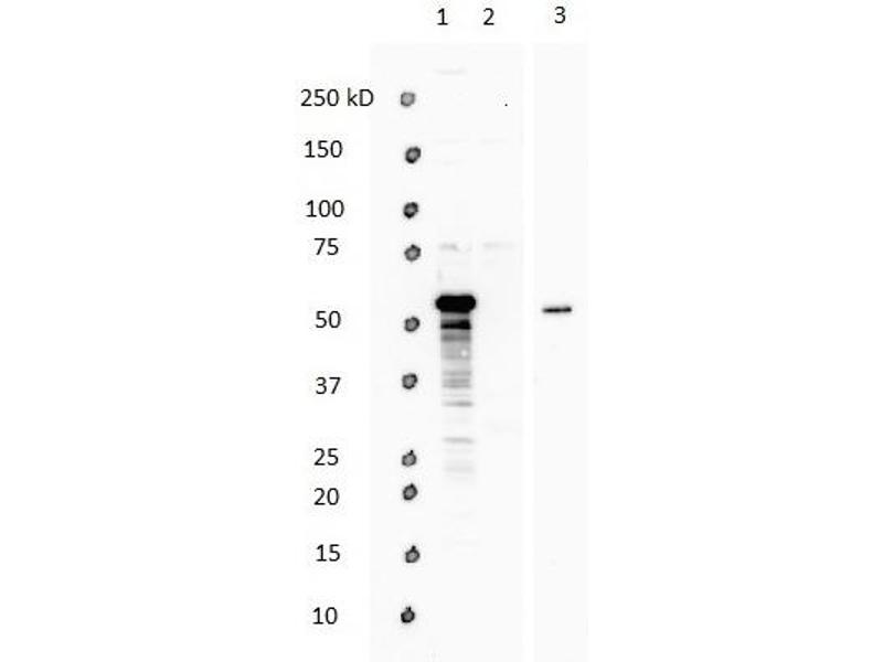 Western Blotting (WB) image for anti-WW Domain Containing Transcription Regulator 1 (WWTR1) (N-Term) antibody (ABIN2779708)