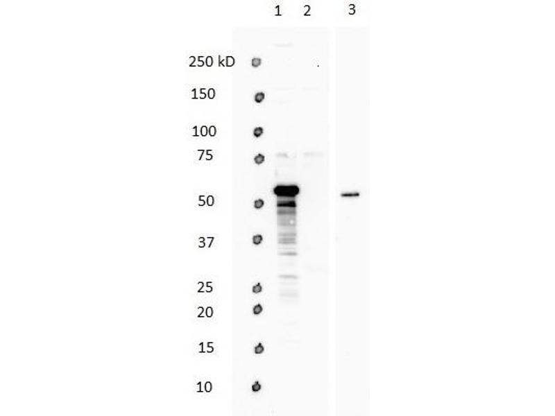 Western Blotting (WB) image for anti-WW Domain Containing Transcription Regulator 1 (WWTR1) (N-Term) antibody (ABIN2779708)