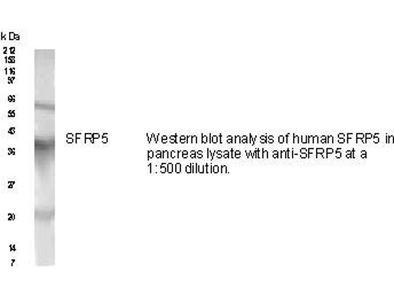 Western Blotting (WB) image for anti-SFRP5 antibody (Secreted Frizzled-Related Protein 5) (AA 25-38) (ABIN152264)