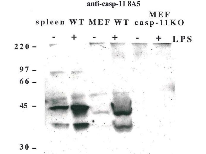 Western Blotting (WB) image for anti-Caspase 4 antibody (Caspase 4, Apoptosis-Related Cysteine Peptidase) (ABIN2745522)