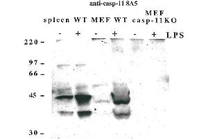 Western Blotting (WB) image for anti-Caspase 4, Apoptosis-Related Cysteine Peptidase (CASP4) antibody (ABIN2745522)