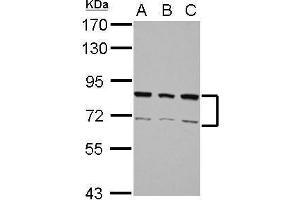 Image no. 1 for anti-Heterogeneous Nuclear Ribonucleoprotein R (HNRNPR) (N-Term) antibody (ABIN2856397)