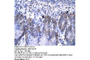 anti-Orthodenticle Homeobox 2 (OTX2) (N-Term) antibody (2)