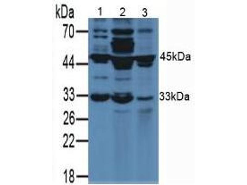 Western Blotting (WB) image for anti-Vascular Endothelial Growth Factor A (VEGFA) (AA 27-190) antibody (ABIN1078648)