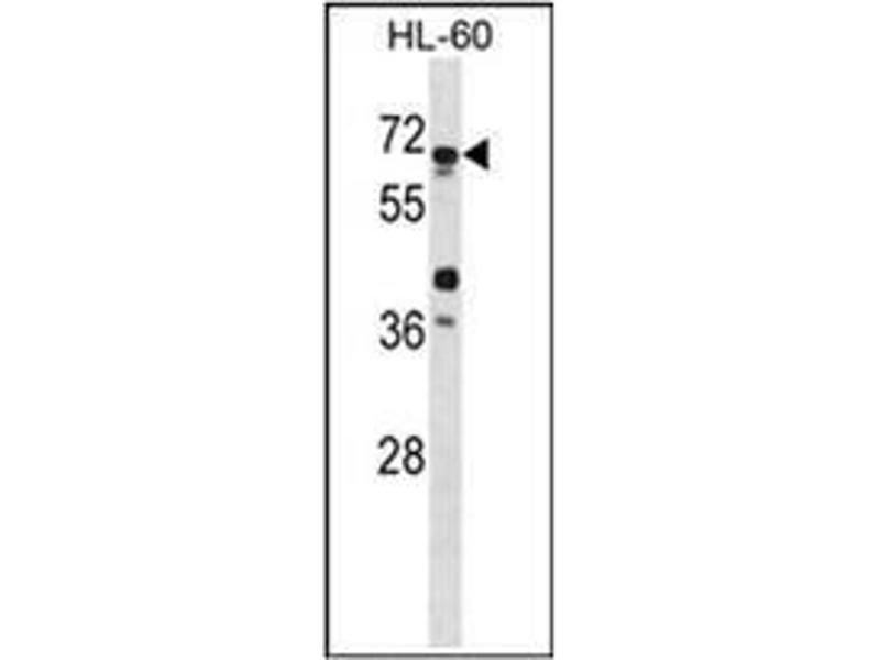 Western Blotting (WB) image for anti-Autophagy Related 4D, Cysteine Peptidase (ATG4D) (AA 227-257) antibody (ABIN1449634)