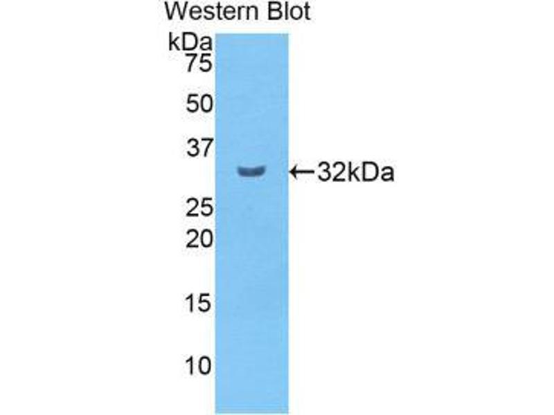 Western Blotting (WB) image for anti-Carboxypeptidase B2 (Plasma) (CPB2) (AA 164-417) antibody (ABIN1860679)