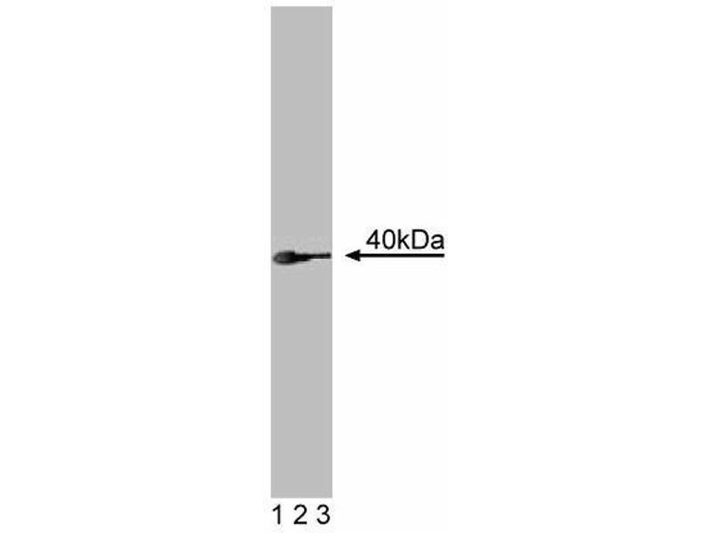 Western Blotting (WB) image for anti-Ron alpha (AA 40-224) antibody (ABIN968150)