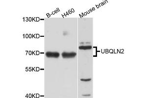 Image no. 1 for anti-Ubiquilin 2 (UBQLN2) antibody (ABIN6571997)