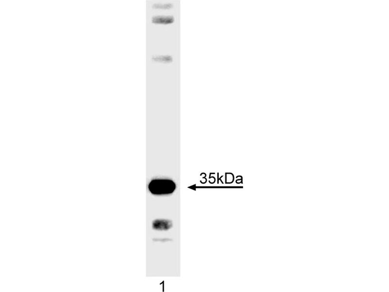 Western Blotting (WB) image for anti-Caspase 7 antibody (Caspase 7, Apoptosis-Related Cysteine Peptidase) (AA 25-42) (ABIN967551)