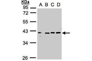 Image no. 2 for anti-Vacuolar Protein Sorting 26 Homolog A (S. Pombe) (VPS26A) (C-Term) antibody (ABIN2856308)