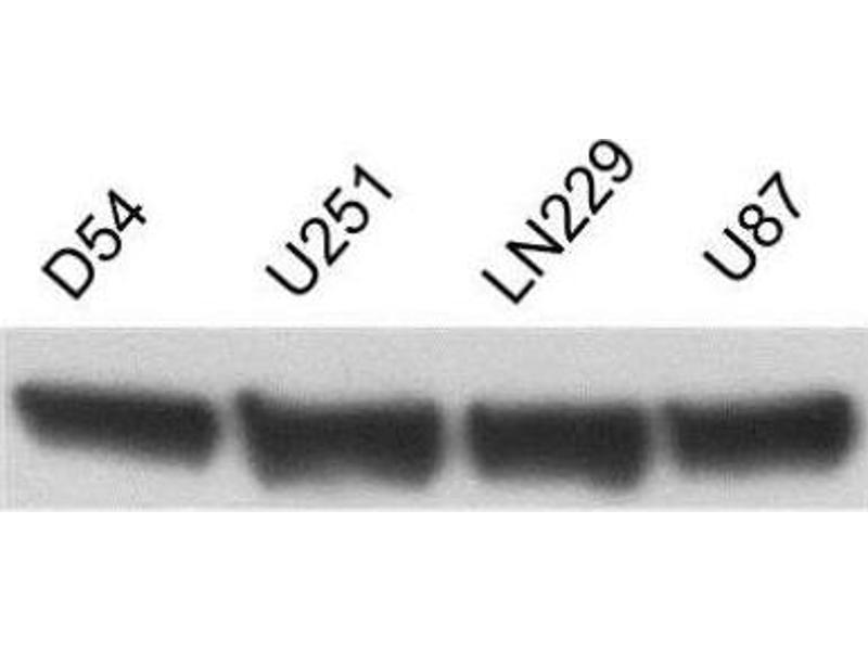 Image no. 8 for anti-Actin, beta (ACTB) (N-Term) antibody (ABIN153386)