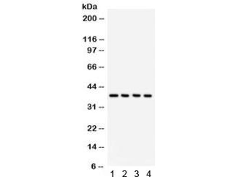 Image no. 1 for anti-COP9 Constitutive Photomorphogenic Homolog Subunit 5 (Arabidopsis) (COPS5) (AA 8-334) antibody (ABIN4951504)
