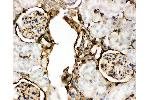 Immunohistochemistry (IHC) image for anti-Annexin V antibody (Annexin A5) (AA 2-320) (ABIN3043502)