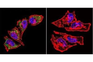 Immunofluorescence (IF) image for anti-Heat Shock 60kDa Protein 1 (Chaperonin) (HSPD1) antibody (ABIN267325)