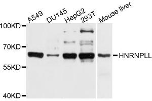 Image no. 1 for anti-Heterogeneous Nuclear Ribonucleoprotein L-Like (HNRPLL) antibody (ABIN6566893)