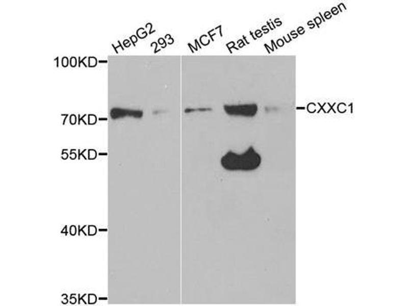 Image no. 1 for anti-CXXC Finger Protein 1 (CXXC1) antibody (ABIN2562080)