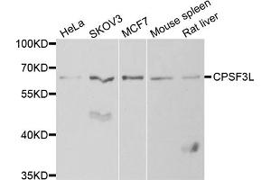 Image no. 2 for anti-Cleavage and Polyadenylation Specific Factor 3-Like (CPSF3L) antibody (ABIN6570530)