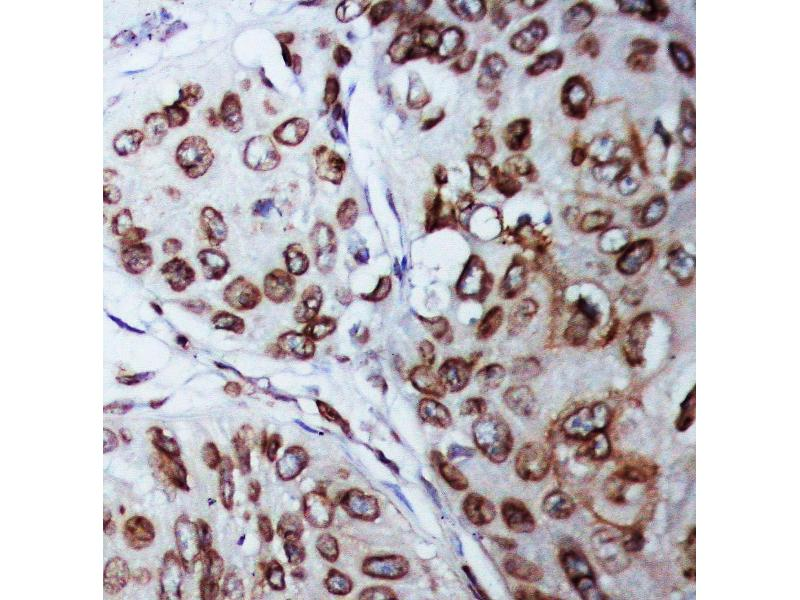 Immunohistochemistry (IHC) image for anti-Lamin B1 (LMNB1) (AA 570-586), (C-Term) antibody (ABIN3043687)