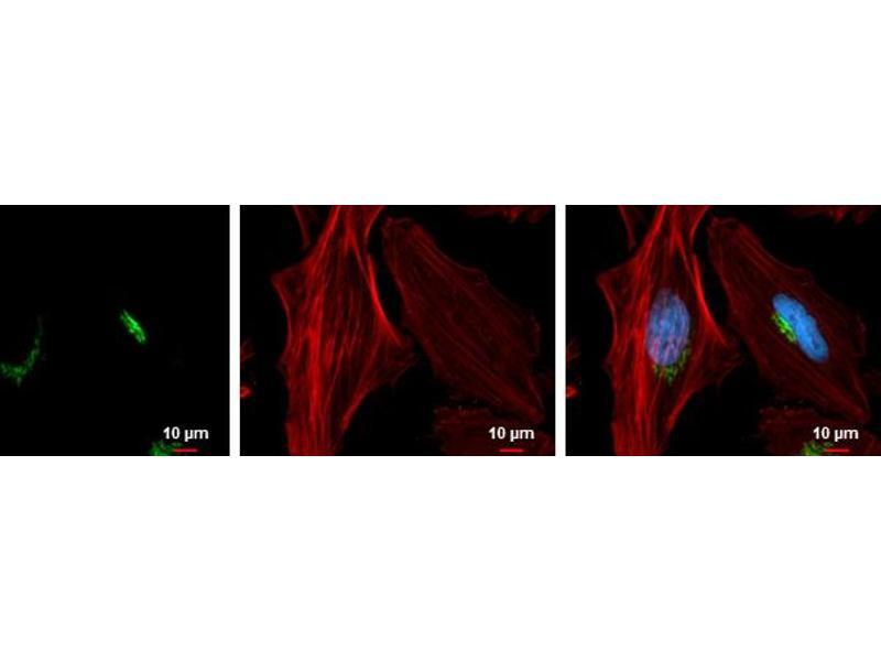Immunofluorescence (IF) image for anti-Golgi Membrane Protein 1 (GOLM1) (C-Term) antibody (ABIN2856522)