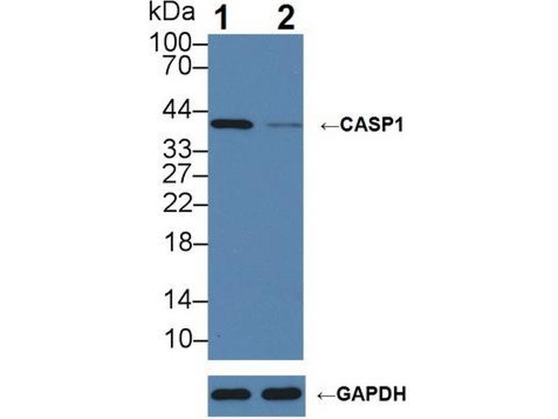 Western Blotting (WB) image for anti-Caspase 1 (CASP1) (AA 120-297) antibody (ABIN2902447)