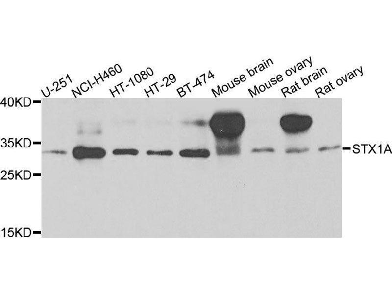 Western Blotting (WB) image for anti-Syntaxin 1A (Brain) (STX1A) antibody (ABIN2737614)
