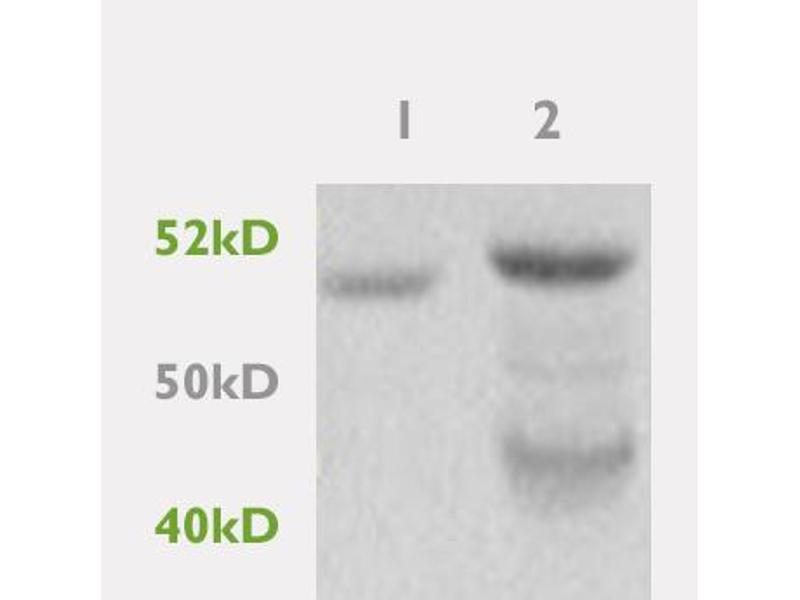 SDS-PAGE (SDS) image for anti-Peroxisome Proliferator-Activated Receptor gamma (PPARG) antibody (ABIN669711)