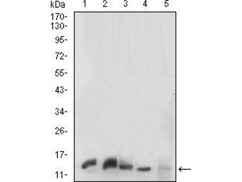 Western Blotting (WB) image for anti-Prokineticin Receptor 2 (PROKR2) (AA 121-136) antibody (ABIN5542372)