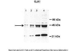 Western Blotting (WB) image for anti-GJA1 antibody (Gap Junction Protein, alpha 1, 43kDa) (Middle Region) (ABIN2774852)
