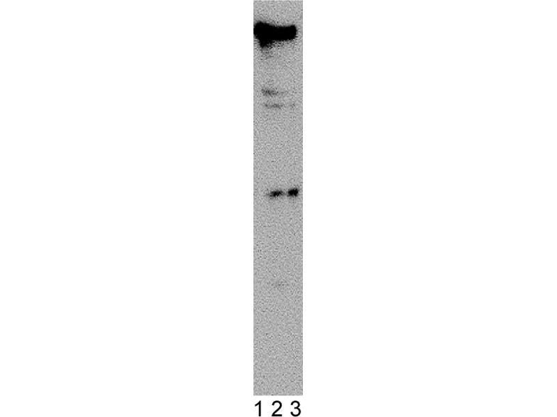 Western Blotting (WB) image for anti-DNA-PK (p350) (AA 277-531) antibody (ABIN967533)
