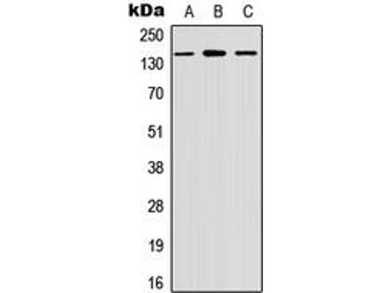 Western Blotting (WB) image for anti-Misshapen-Like Kinase 1 (MINK1) (Center) antibody (ABIN2972611)