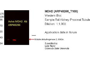 Image no. 2 for anti-Malate Dehydrogenase 2, NAD (Mitochondrial) (MDH2) (C-Term) antibody (ABIN2783318)