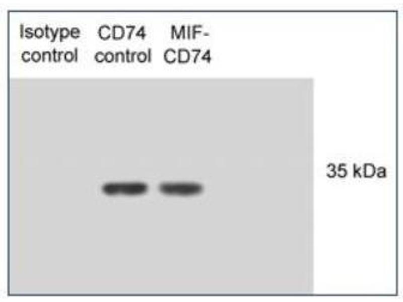 Image no. 3 for anti-HLA-DR-gamma (CD74) (AA 12-27) antibody (ABIN151486)