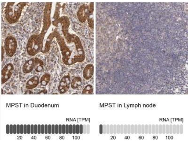 Immunohistochemistry (Paraffin-embedded Sections) (IHC (p)) image for anti-Mercaptopyruvate Sulfurtransferase (MPST) antibody (ABIN4335380)
