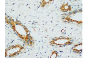 Image no. 1 for anti-Protein Phosphatase 2, Catalytic Subunit, alpha Isozyme (PPP2CA) (AA 6-20), (N-Term) antibody (ABIN3044492)