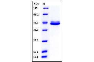 Image no. 1 for CD5 Molecule-Like (CD5L) (AA 1-347) protein (His tag) (ABIN2003392)