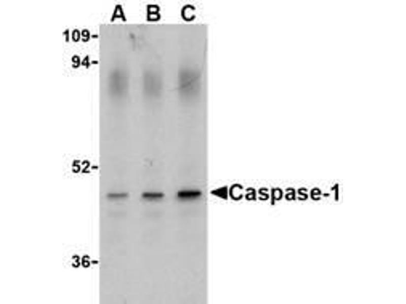 Western Blotting (WB) image for anti-Caspase 1 antibody (CASP1) (Intermediate Domain) (ABIN499543)