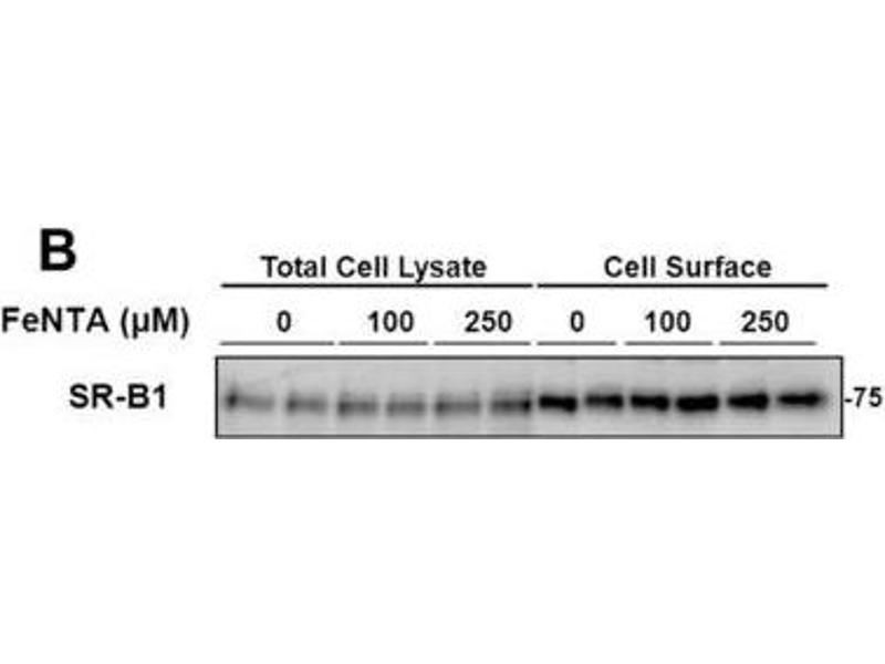 Western Blotting (WB) image for anti-SCARB1 antibody (Scavenger Receptor Class B, Member 1) (C-Term) (ABIN152882)