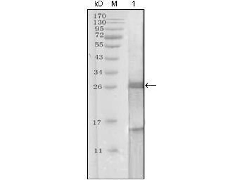 Western Blotting (WB) image for anti-Prostate Specific Antigen antibody (PSA) (AA 26-251) (ABIN969369)