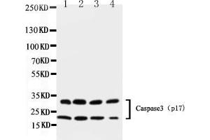 Image no. 1 for anti-Caspase 3 (CASP3) (AA 67-81), (N-Term) antibody (ABIN5518695)